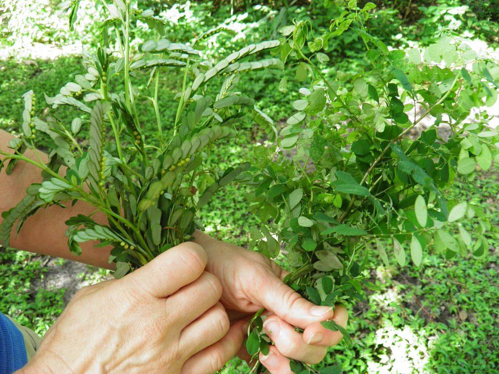 Chanca piedra bio, qui est également connu sous le nom de Phyllanthus niruri bio, est une plante à base de plantes qui provient de la forêt amazonienne.